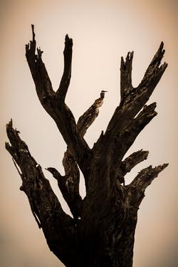 Kingfisher on Dead Tree, Chobe River, Botswana