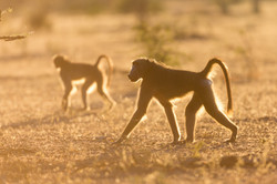 Baboons, Timbavati Game Reserve, South Africa