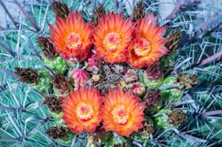 Fishhook Barrel Cactus, Arizona, USA