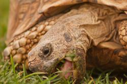 Leopard Tortoise, Omaheke, Namibia