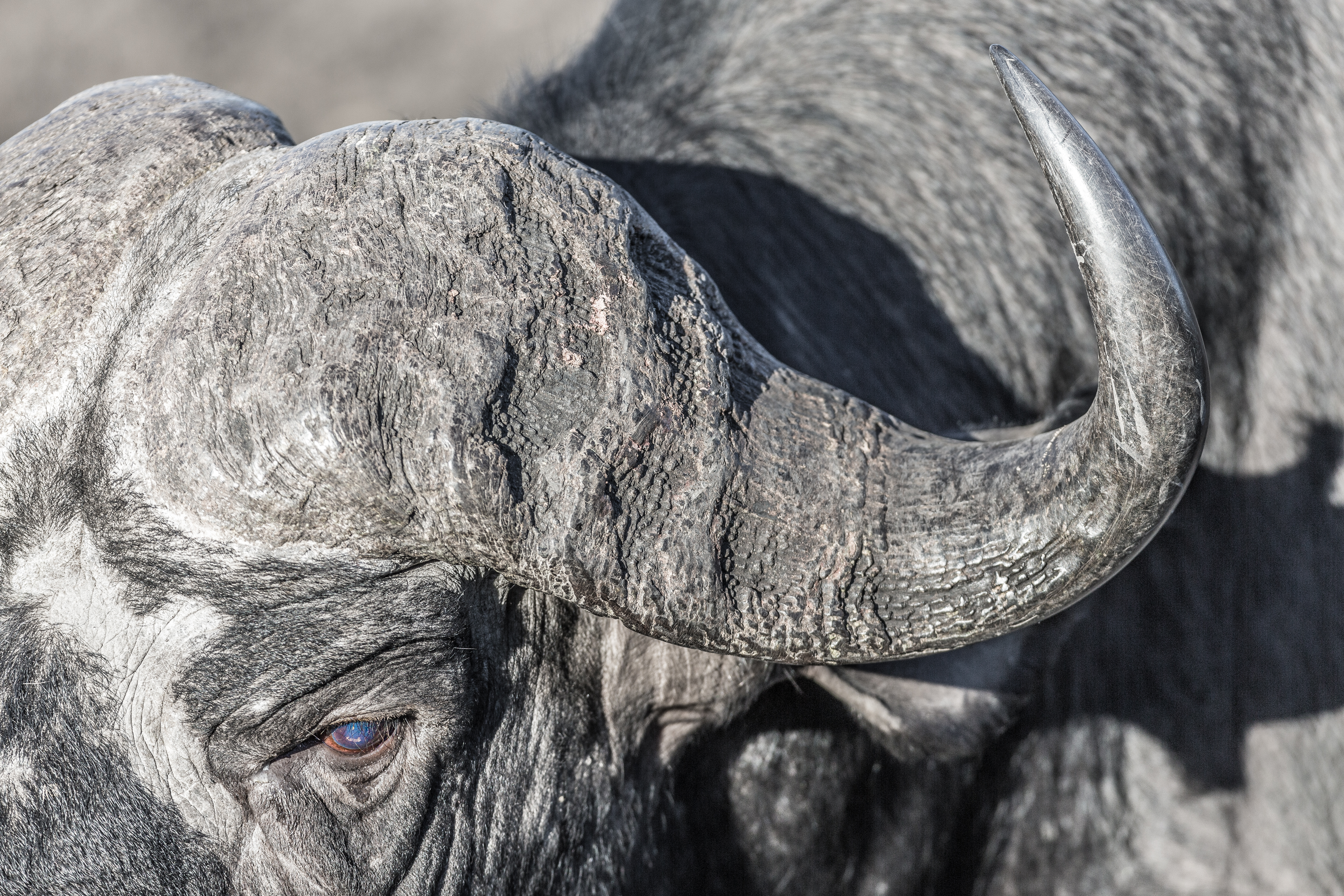 African Buffalo, Manyeleti Game Reserve, South Africa