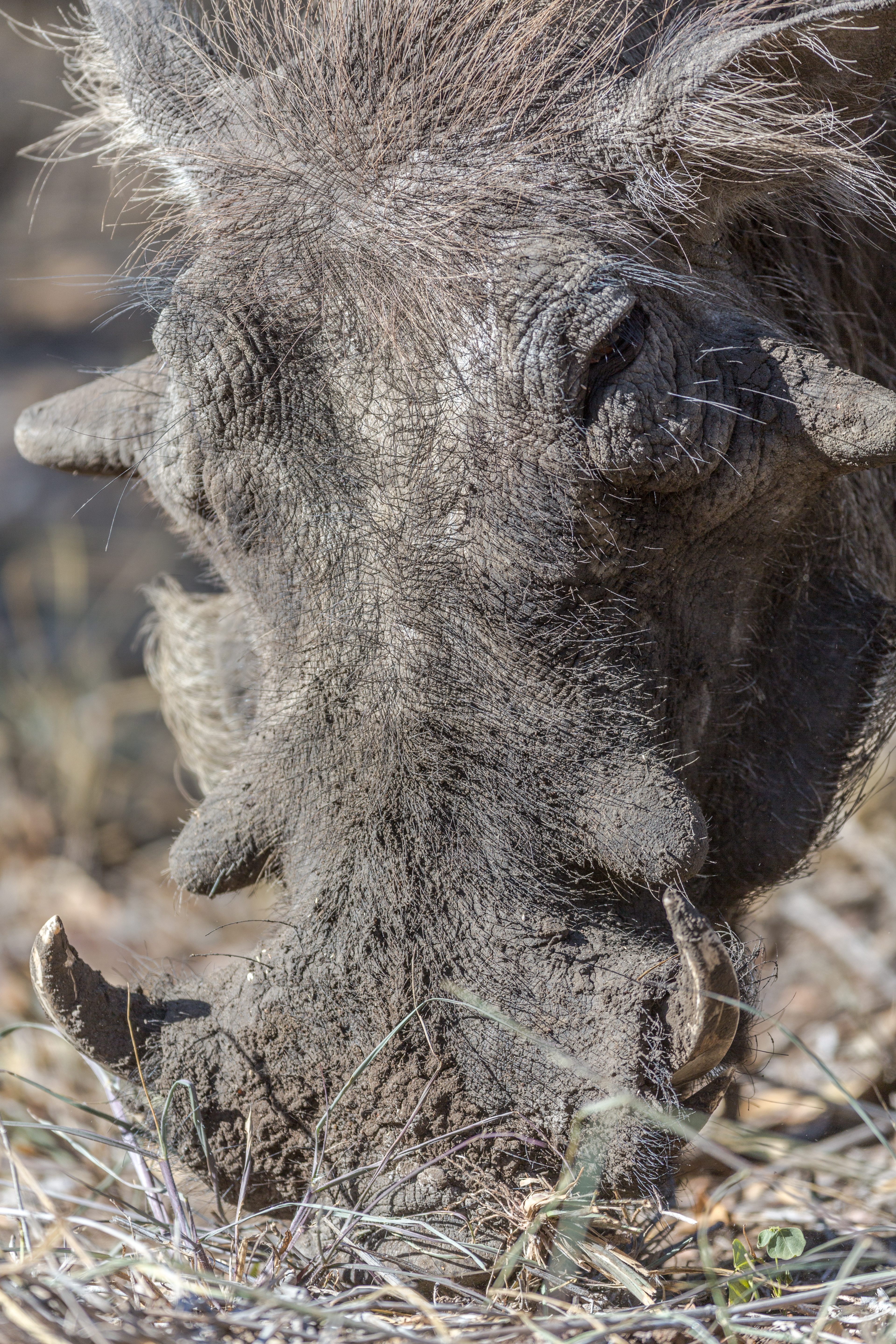Warthog, Manyeleti Game Reserve, South Africa
