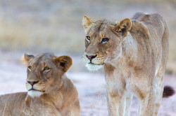 Lions, Timbavati Game Reserve, South Africa