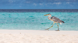 Grey Heron, Maldives