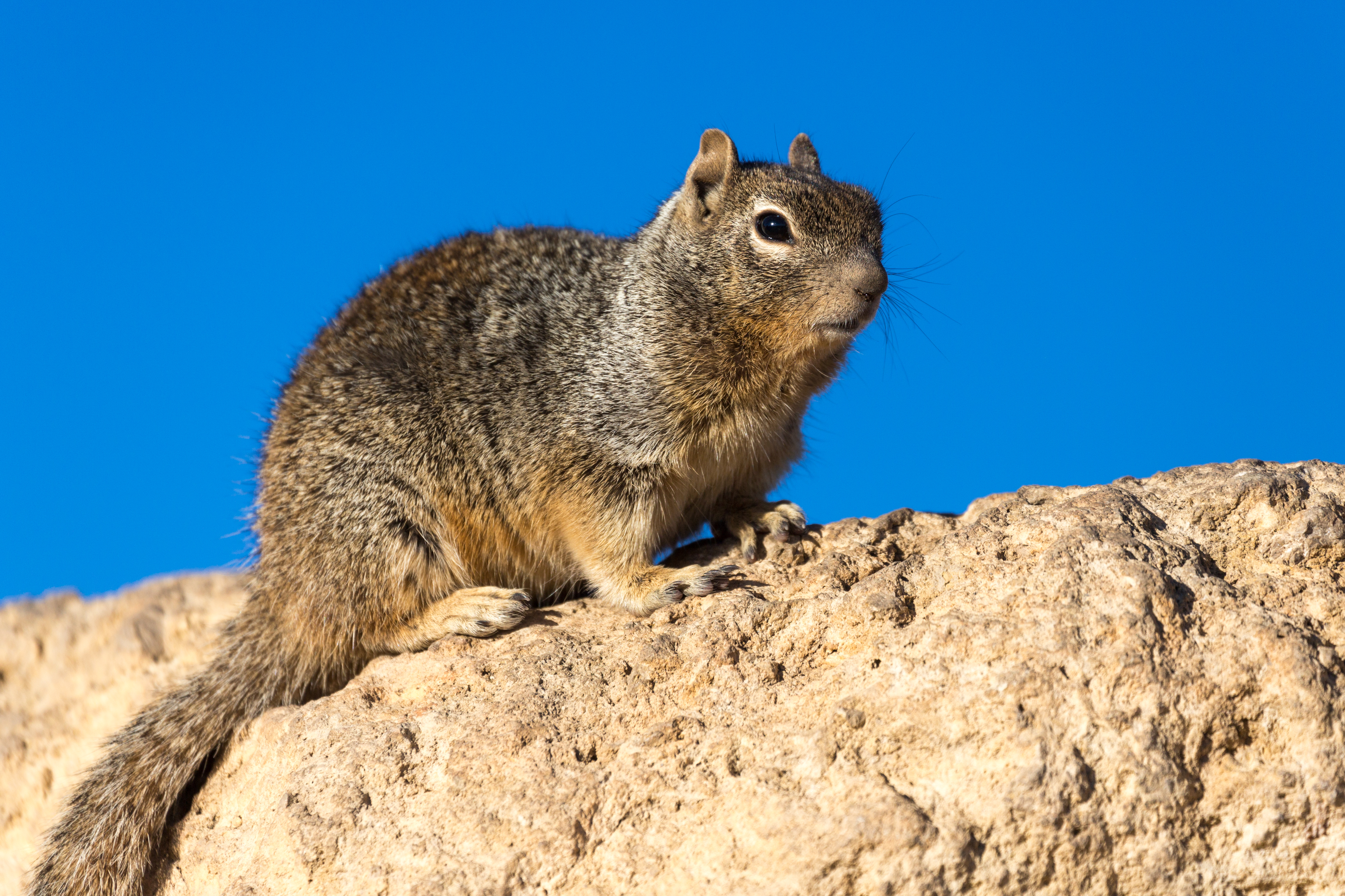 Squirrel, Grand Canyon, Arizona, USA