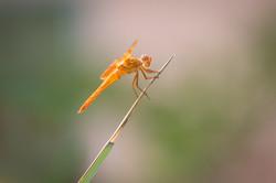 Flame Skimmer, Arizona, USA