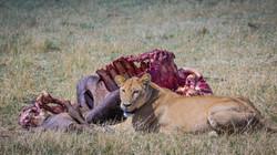 Lion, Savuti Marsh Area, Botswana