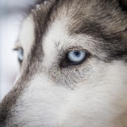 Husky, Arctic Circle, Finland
