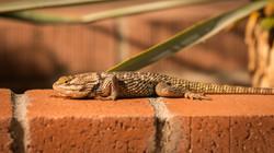 Desert Spiny Lizzard, Arizona, USA