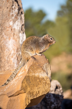 Squirrel, Grand Canyon, Arizona, USA