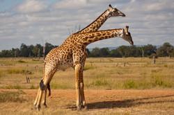 Rhodesian Giraffes, South Luangwa National Park, Zambia