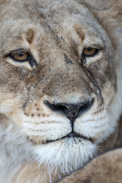 Lion, Timbavati Game Reserve, South Africa