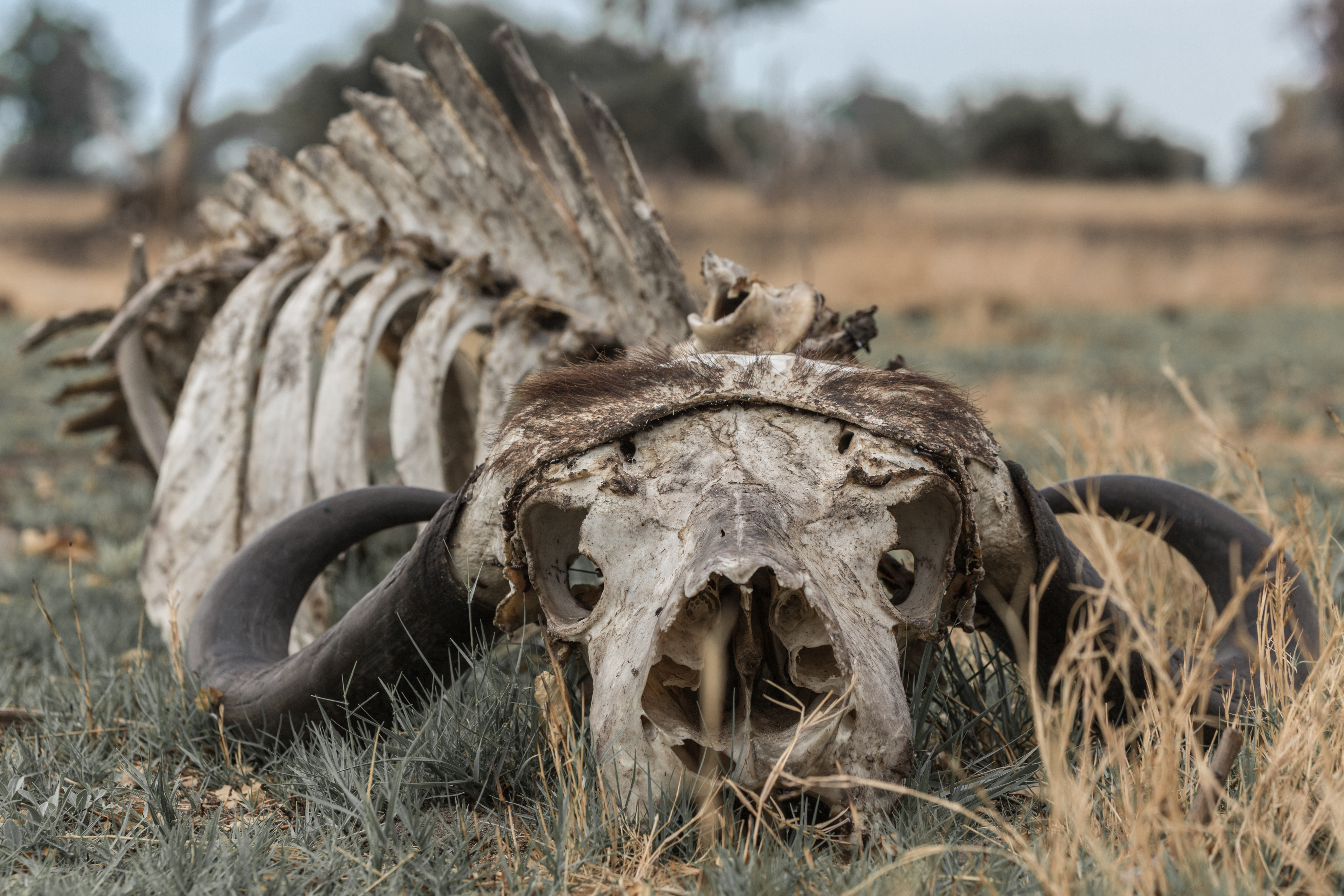 Buffalo Carcass, Okavango Delta, Botswana