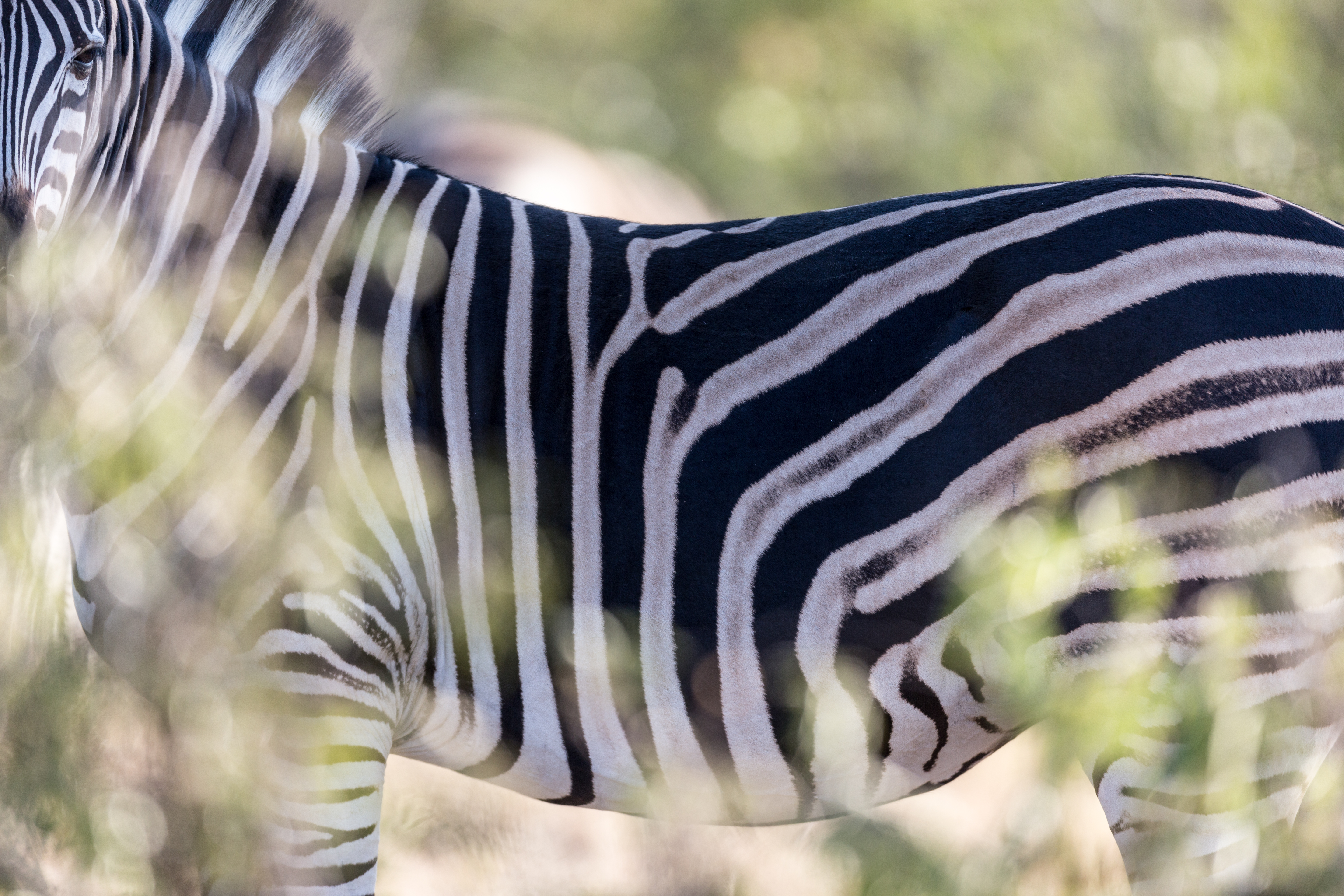 Zebra, Manyeleti Game Reserve, South Africa