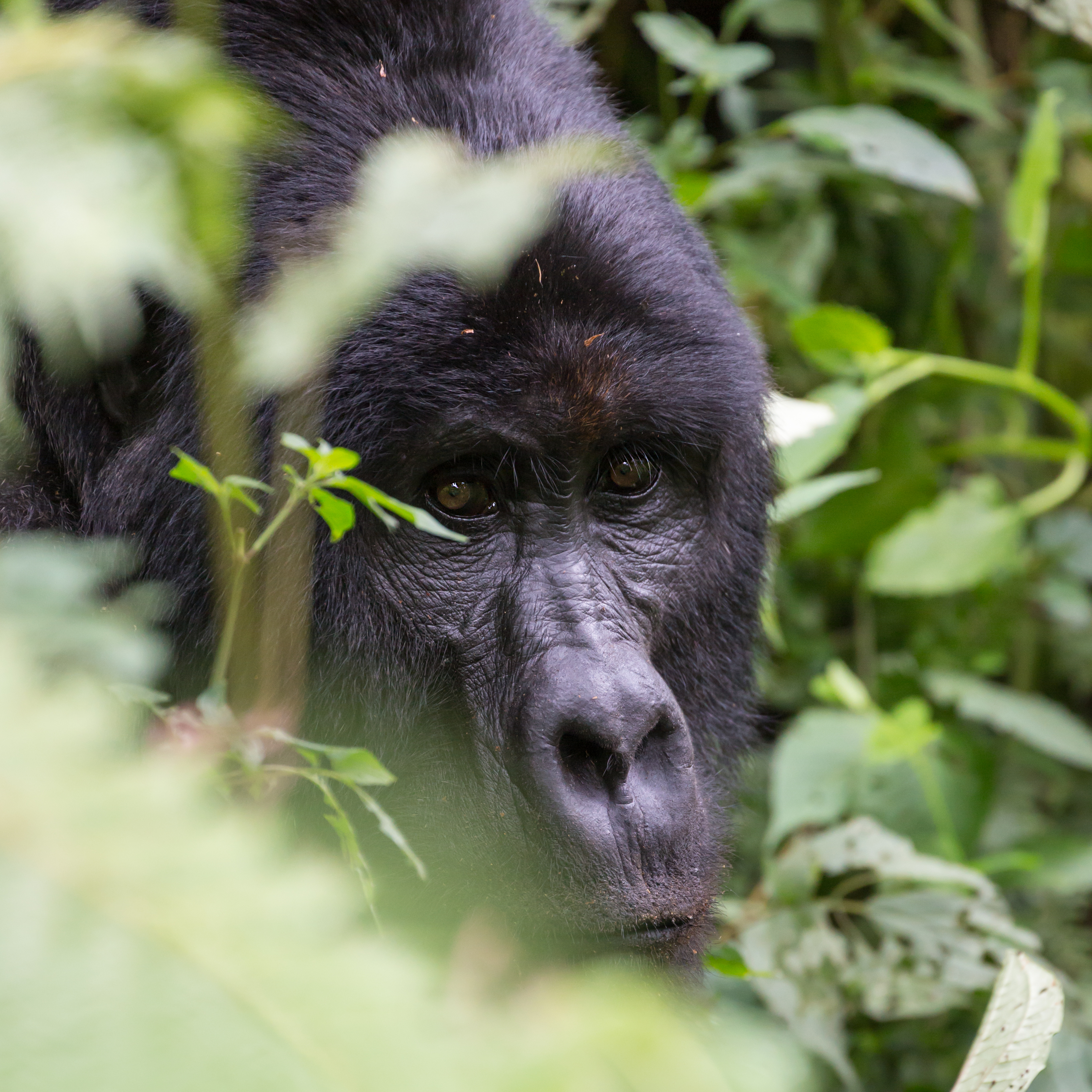 Mountain Gorilla, Bwindi Impenetrable Forest, Uganda