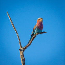 Lilac-Breasted Roller, Manyeleti Game Reserve, South Africa