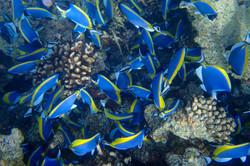 Powder Blue Surgeon Fish, Maldives