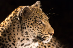 Leopard, Timbavati Game Reserve, South Africa