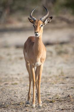 Impala, Timbavati Game Reserve, South Africa