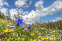 Gentian on Alpine Meadow, Austria