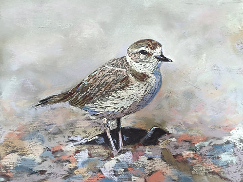 ST36 Dudley - Snowy Plover