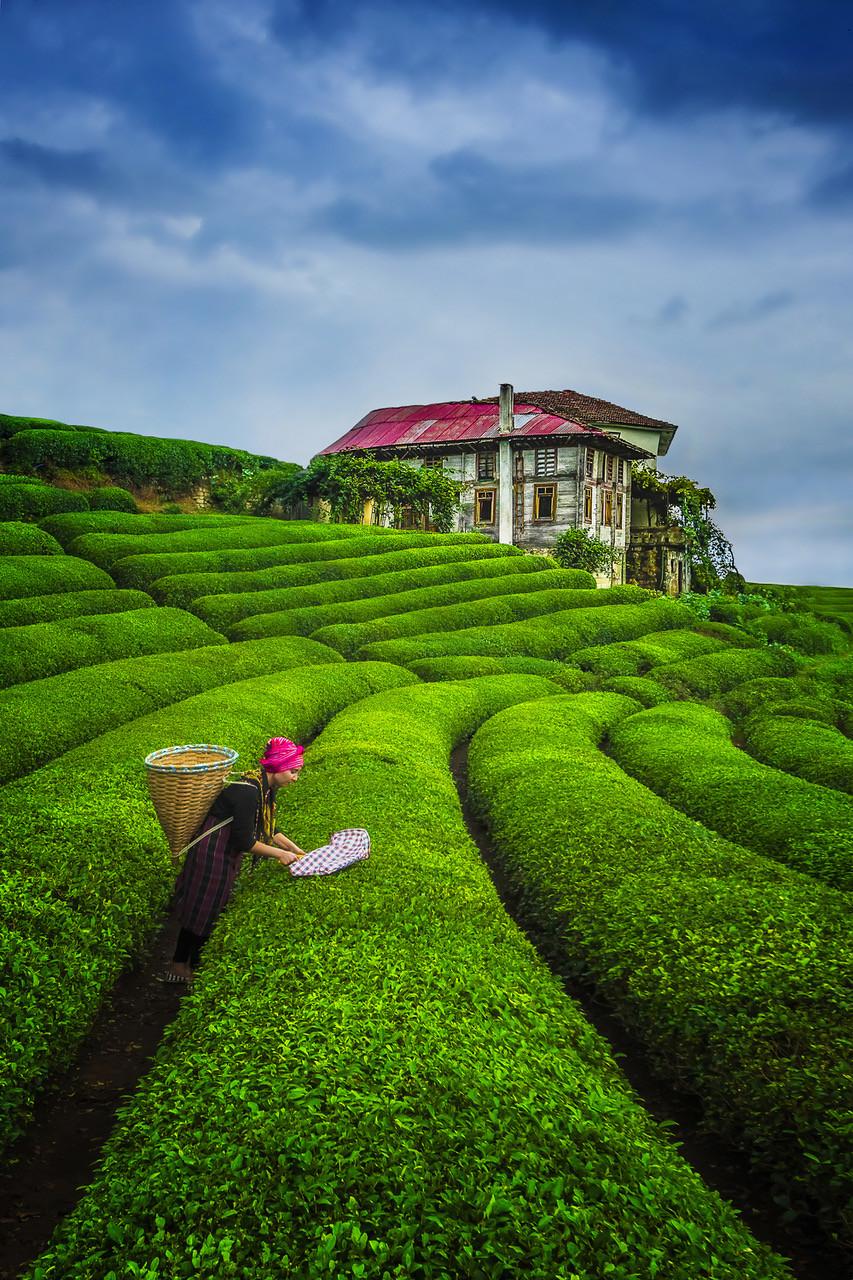 Tea_Harvest.jpeg