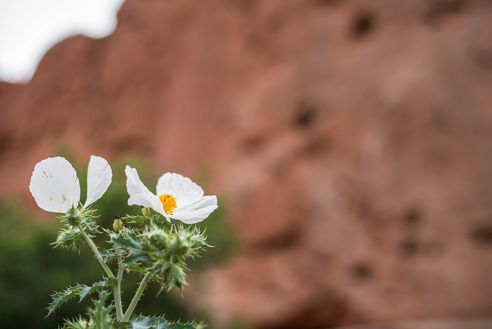 LaurMar Photo, Garden of the God's, Colorado, From dust, wildflower
