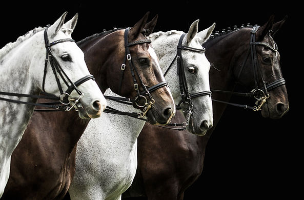 Portrait of  four horses in dressage com
