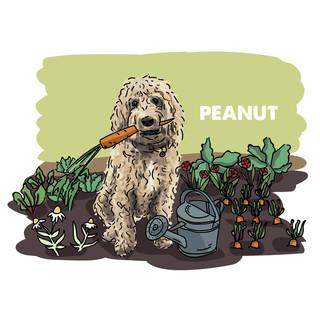 Peanut in allotment.jpg