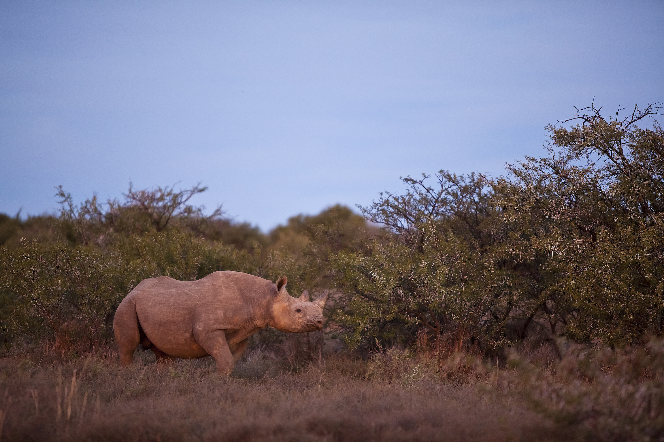 black-rhinoceros-samara-karoo-safari-eti