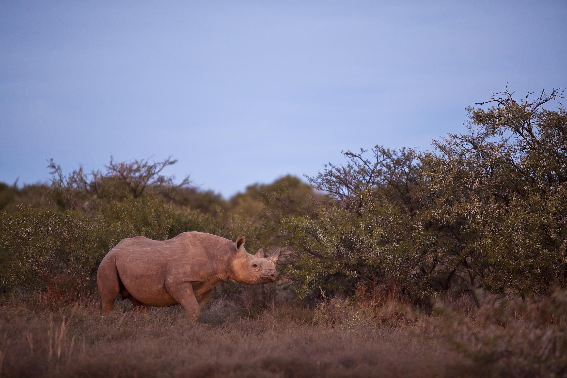 black-rhinoceros-samara-karoo-safari-eti