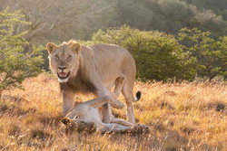 lions-samara-game-reserve-safari-news