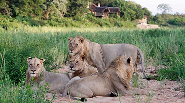 male_lions_in_front_of_the_lodge_web.jpg
