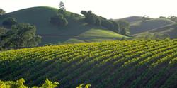 Sonoma Vineyard in bloom