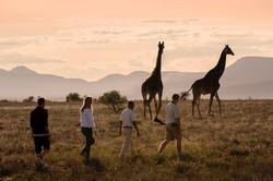 giraffe-tracking-bush-walk-samara-karoo-