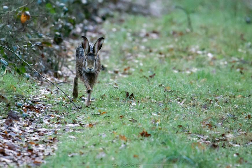 Je cours comme un lapin