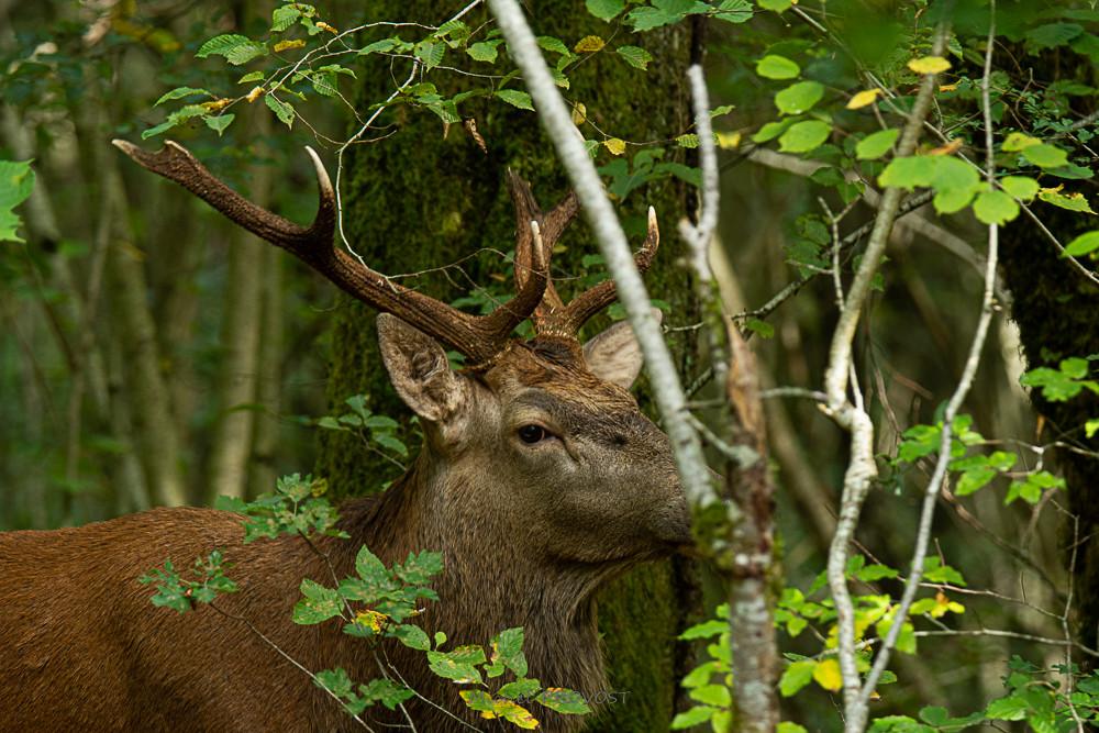 Cerf au coin du bois