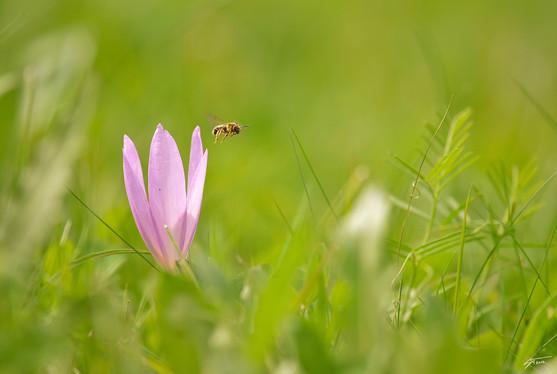 Colchique et abeille