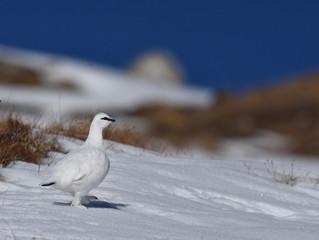 A la rencontre de la Perdrix des neiges - Jour 2