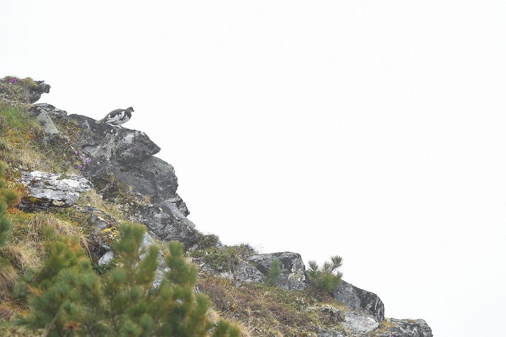 Lagopède alpin mâle sur le versant sud-ouest