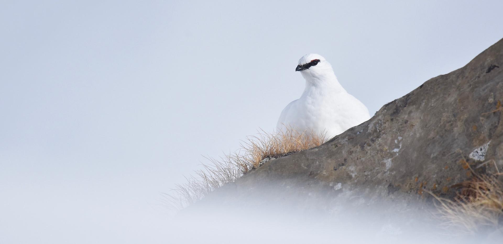 Lagopède alpin en hiver