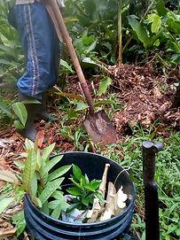 Voluntariado permacultura siembra nuqui