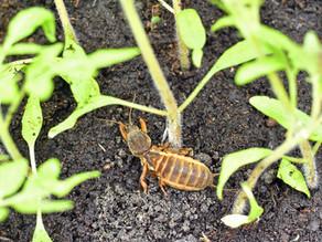 HerbBacto-Vital T talajos készítménnyel a talajban élő kártevők ellen