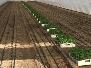 Palánták neveléséhez használjon HerbBacto-Vital L (leveles) növénykondicionálót!