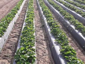 Eper, szamóca palántázás a HerbBacto-Vital termékcsaláddal