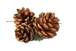 Pinecones fund.png