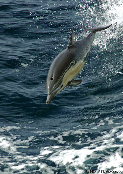 koino-delfini-GR-2