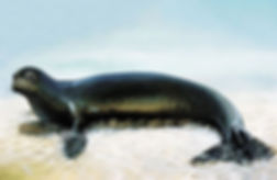 Caribbean-Monk-Seal-officially-considere