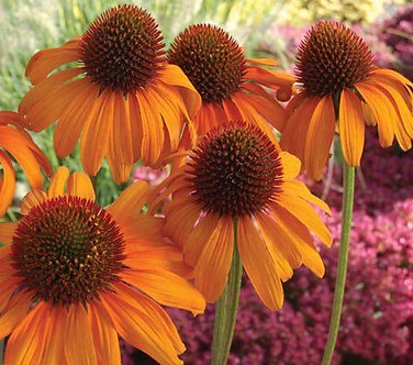 Enchinacea Cone Flower Flamenco Orange
