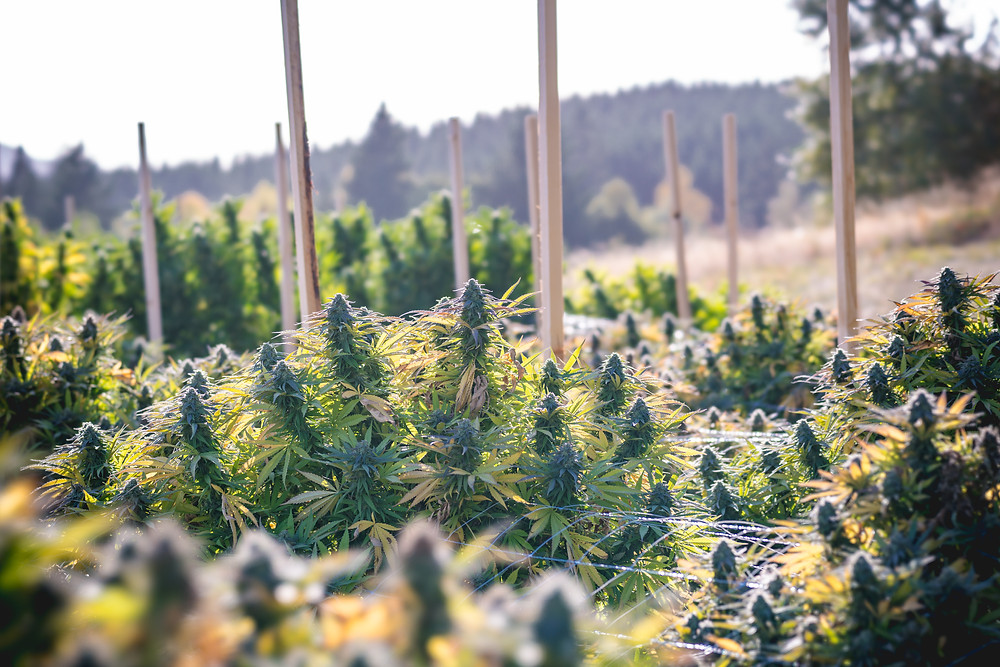 Outdoor Cannabis Grow before Croptober